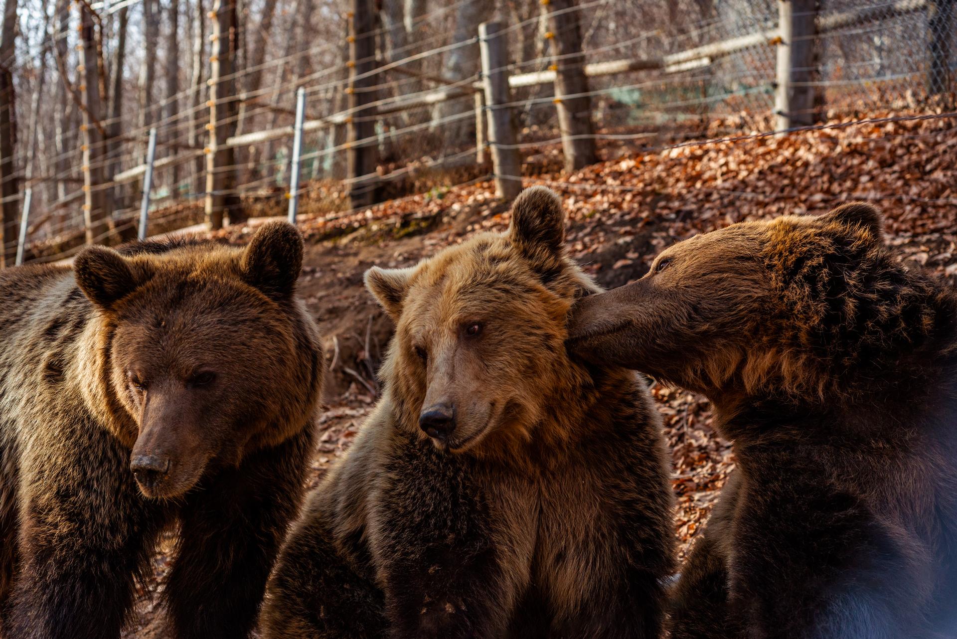 Καφέ αρκούδες © Αρκτούρος | Arcturos