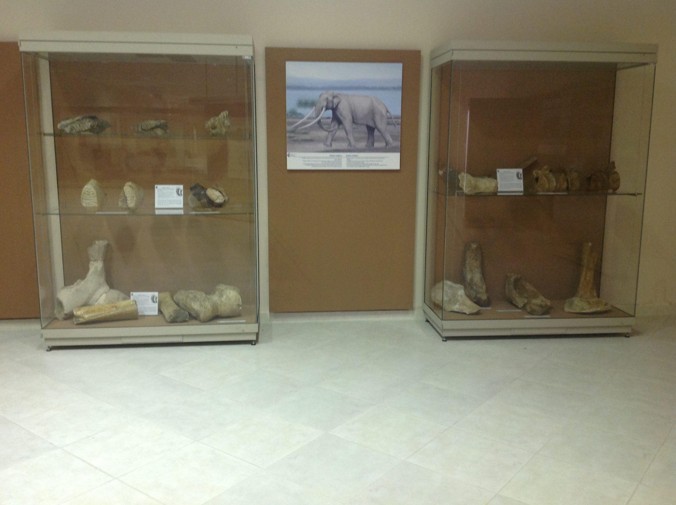 Παλαιοντολογικά εκθέματα © Ιστορικό-Παλαιοντολογικό Μουσείο Πτολεμαϊδας